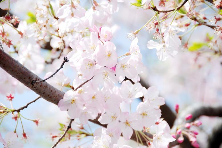 벚꽃풍경 (2)